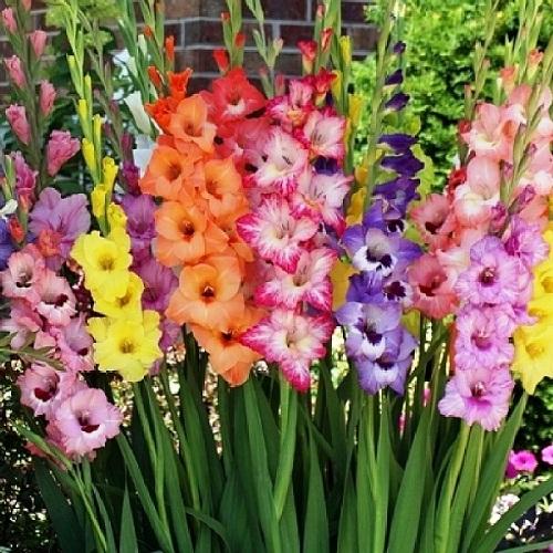Gladiolus: August Birthday Flower